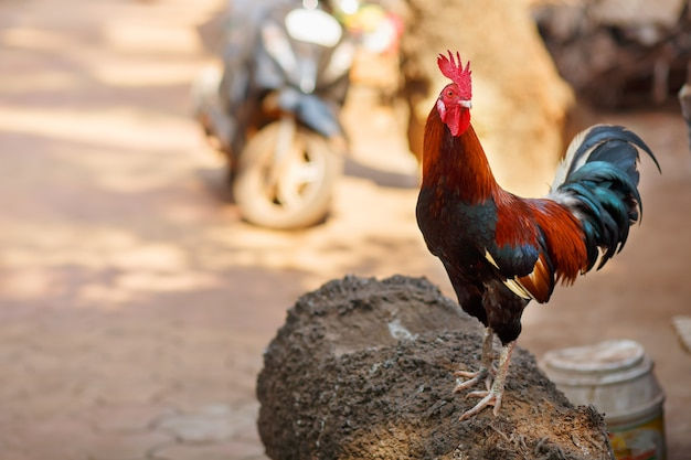 Beautiful rooster with a red crest. multicolored feathers. screams crows Premium Photo