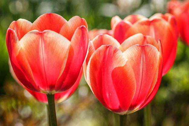 Beautiful rose tulip flowers with green blurred background. Premium Photo
