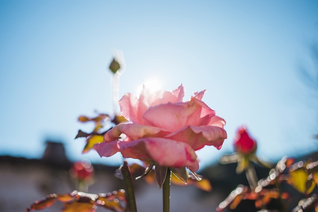 Beautiful rose with sky background Free Photo