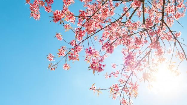 Beautiful sakura flower (cherry blossom) in spring. sakura tree flower on blue sky. Premium Photo