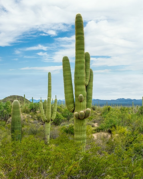 Beautiful scenery of different cacti and wildflowers in the sonoran desert outside of tucson arizona Free Photo