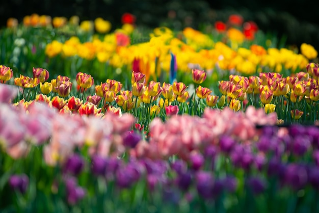 Beautiful scenery of a field with colorful tulips on a blurred background Free Photo