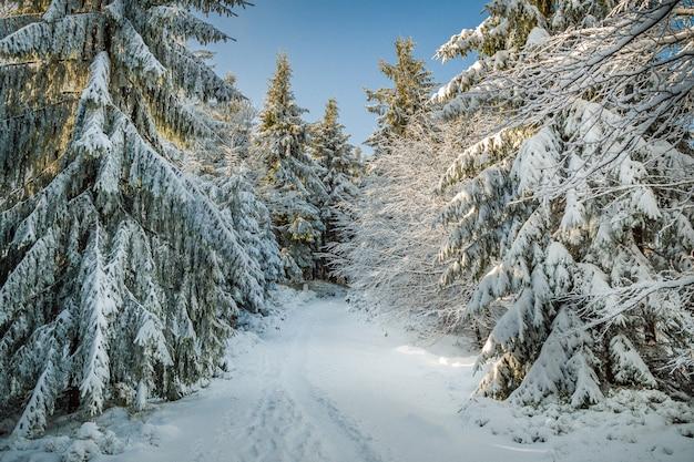 Uno splendido scenario di abeti coperti di neve sulle colline in inverno Foto Gratuite