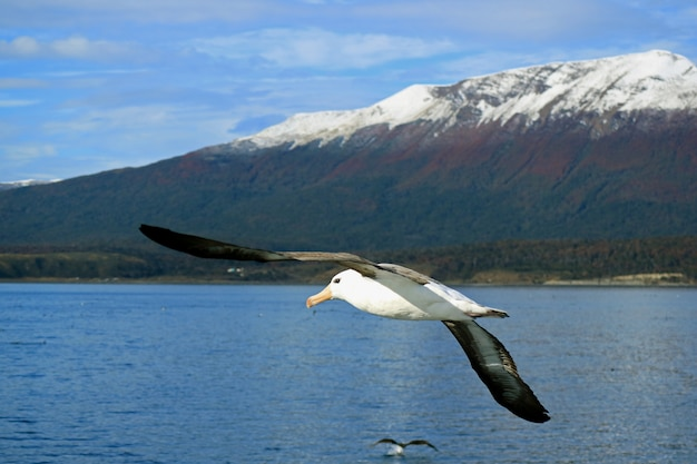Beautiful seagull flying along with cruise ship on beagle channel Premium Photo