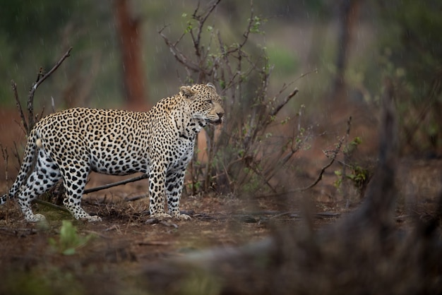 Beautiful shot of an african leopard hunting for prey with a blurred background Free Photo