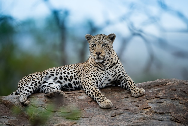 Beautiful shot of an african leopard resting on the rock with a blurred background Free Photo