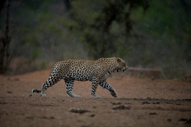 Bellissimo scatto di un leopardo africano che cammina sotto la pioggia con uno sfondo sfocato Foto Gratuite