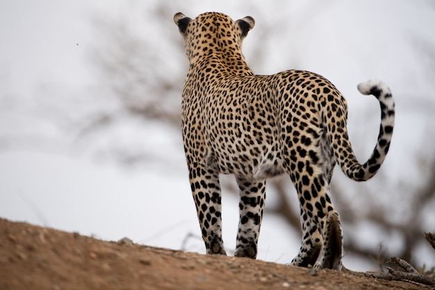 Beautiful shot of an african leopard with a blurred background Free Photo