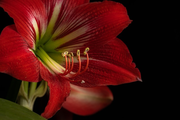 Bella ripresa di un fiore di giglio rosso in fiore isolato su uno sfondo nero Foto Gratuite