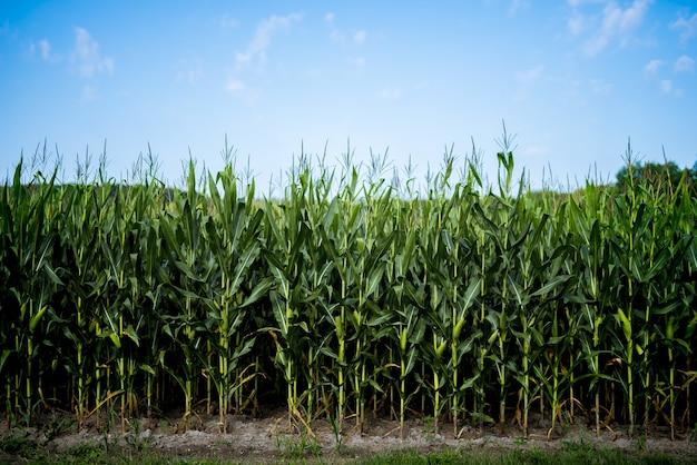 Bellissimo colpo di campo di grano con un cielo blu Foto Gratuite