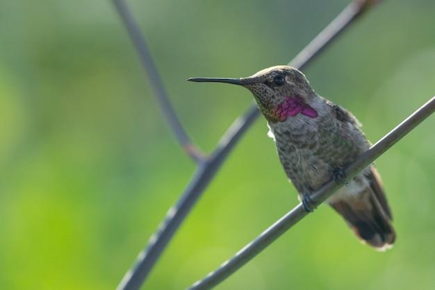 Bellissimo scatto di un simpatico colibrì seduto sul ramo di un albero nella foresta Foto Gratuite