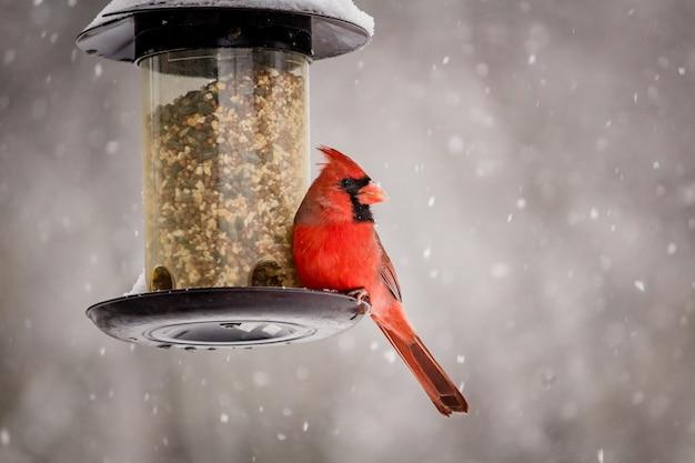 Bellissimo scatto di un simpatico uccello cardinale settentrionale in una giornata invernale Foto Gratuite