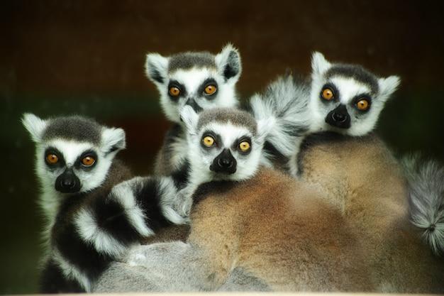 Bellissimo scatto dei simpatici lemuri dalla coda ad anelli che fissano intensamente Foto Gratuite