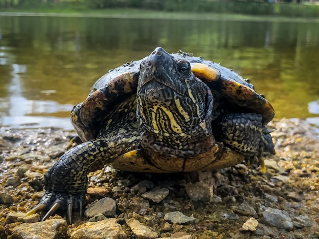 Beautiful shot of a cute turtle near the shore of a lake surrounded by trees Free Photo