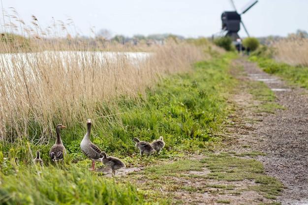 Bello colpo delle anatre vicino ad una via e ad un'erba asciutta con uno sfocato Foto Gratuite