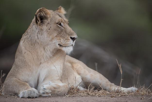 Bellissimo scatto di un leone femmina appoggiato a terra Foto Gratuite