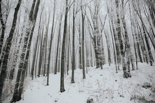 Beautiful shot of a forest with tall bare trees covered with snow in a forest Free Photo