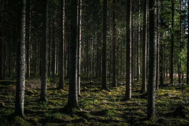 Bella ripresa di una foresta con alti alberi verdi con il sole che splende tra i rami Foto Gratuite