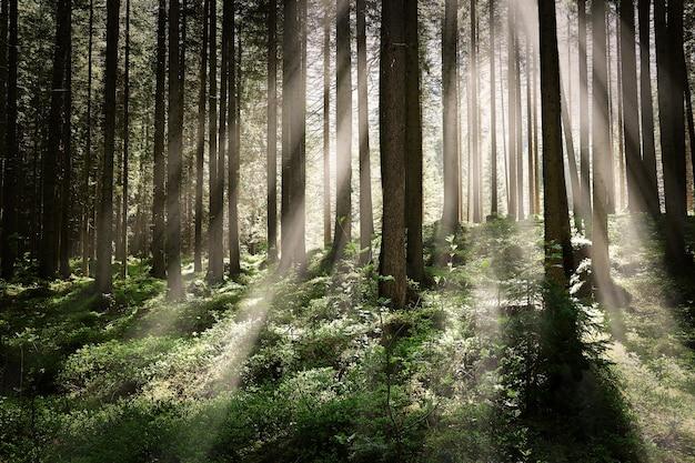 Bellissimo scatto di una foresta con alberi ad alto fusto e luminosi raggi di sole splendenti Foto Gratuite