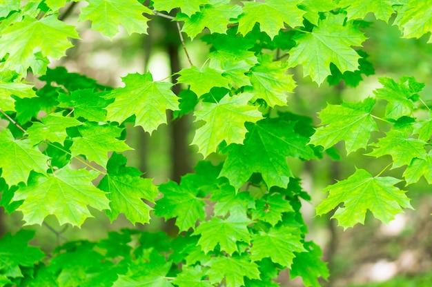 Bellissimo colpo di foglie di acero verde sugli alberi Foto Gratuite