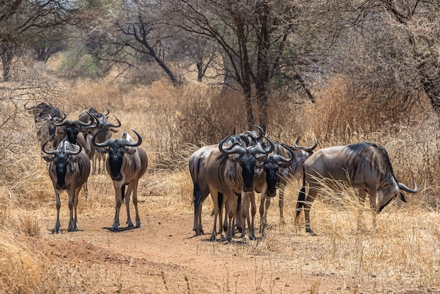 Bellissimo scatto del gruppo di gnu africani su una pianura erbosa Foto Gratuite
