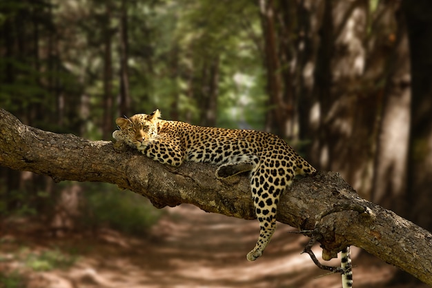Beautiful shot of a lazy leopard resting on the tree with a blurred background Free Photo