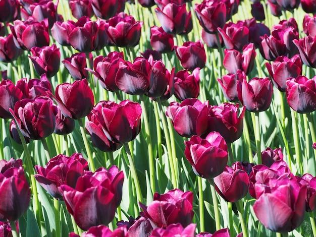 Bella ripresa delle affascinanti piante fiorite di tulipa sprengeri in mezzo al campo Foto Gratuite