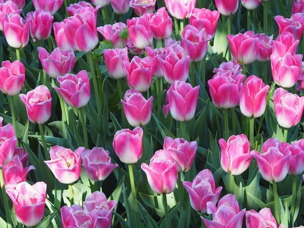 Bella ripresa delle affascinanti piante da fiore tulipa sprengeri in mezzo al campo Foto Gratuite