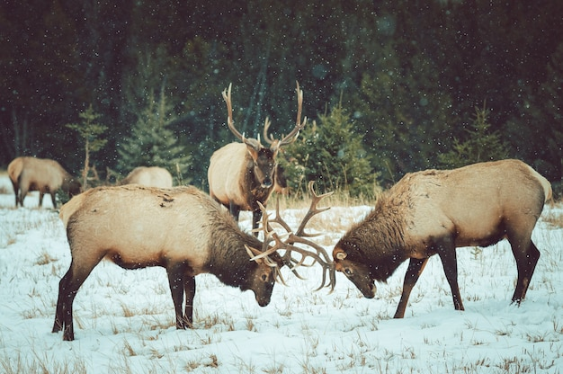 Beautiful shot of moose fighting with their horns in the snow Free Photo
