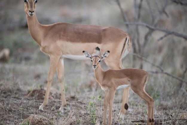 Красивый снимок ребенка и матери-антилопы Бесплатные Фотографии