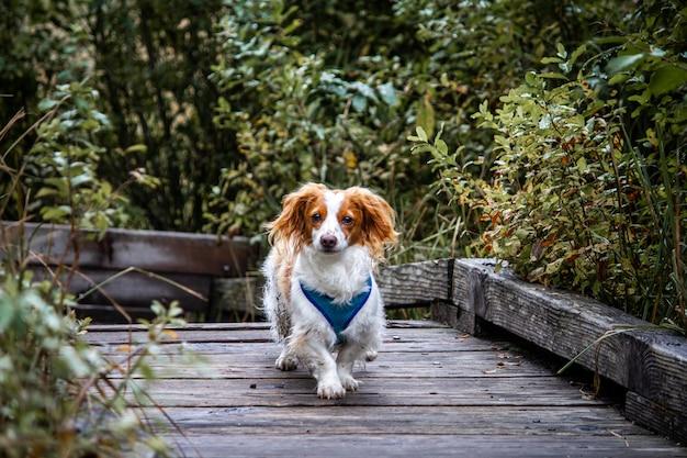 木製の道を歩いてかわいいchi weenie犬の美しいショット 無料写真