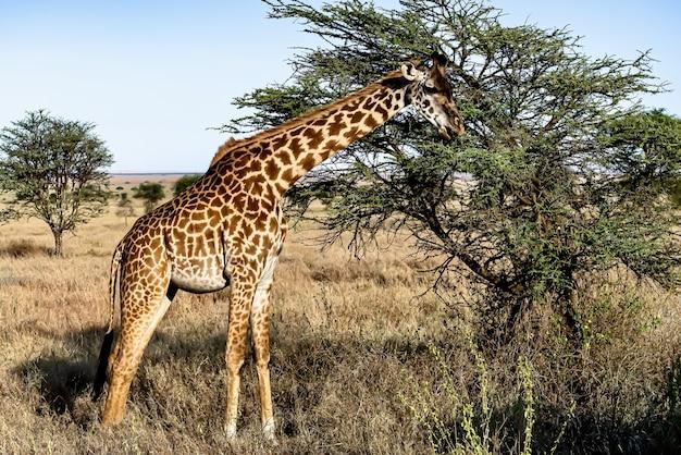 나무와 푸른 하늘 귀여운 기린의 아름다운 샷 무료 사진