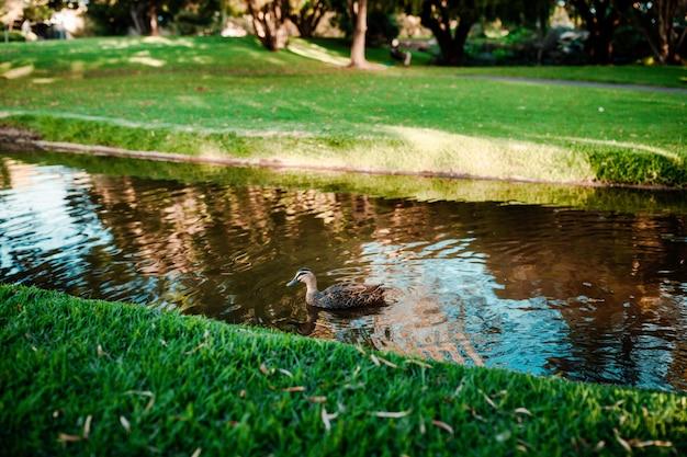 川で泳ぐかわいいマガモの美しいショット 無料写真