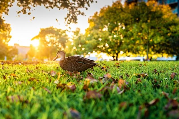 草の上を歩くかわいいマガモの美しいショット 無料写真