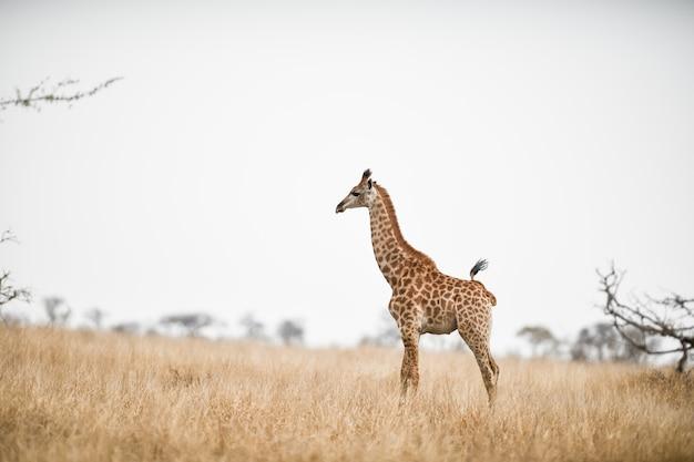 Красивый снимок жирафа в поле саванны Бесплатные Фотографии