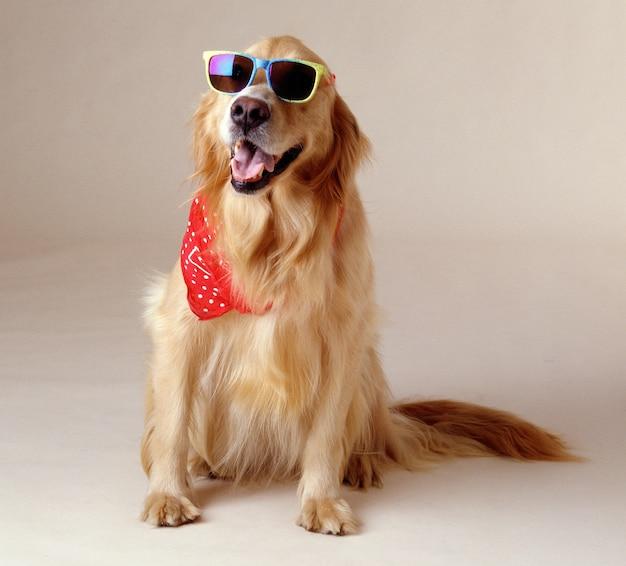 멋진 선글라스와 빨간 손수건을 입고 골든 리트리버의 아름다운 샷 무료 사진