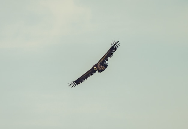 Красивый снимок белоголового сипа, летящего в облачное небо Бесплатные Фотографии