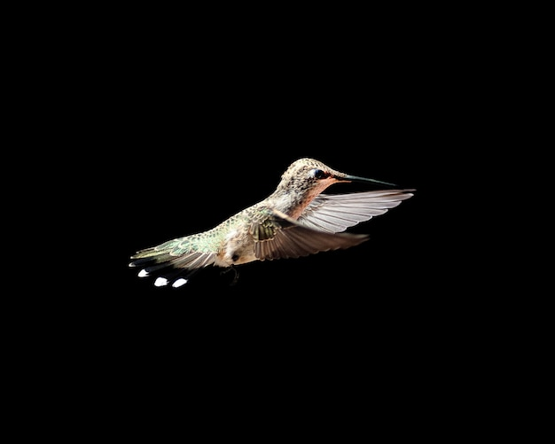 真っ黒な背景のハチドリの美しいショット 無料写真