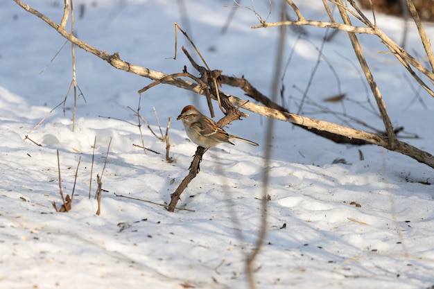 冬の間に小枝で休んでいるスズメの鳥の美しいショット 無料写真