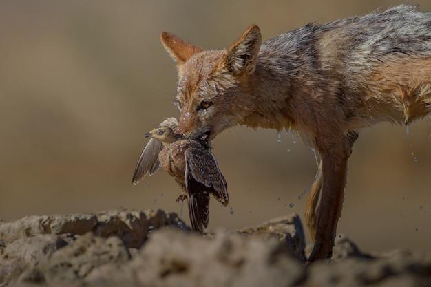 死んだ鳥を口に抱えている濡れた砂狐の美しいショット 無料写真