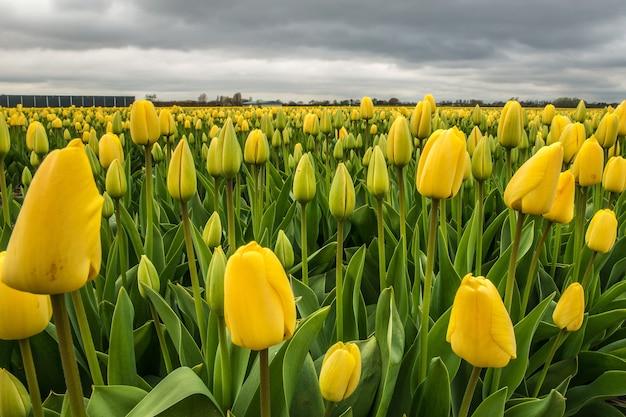 遠くに曇り空と黄色の花畑の美しいショット 無料写真
