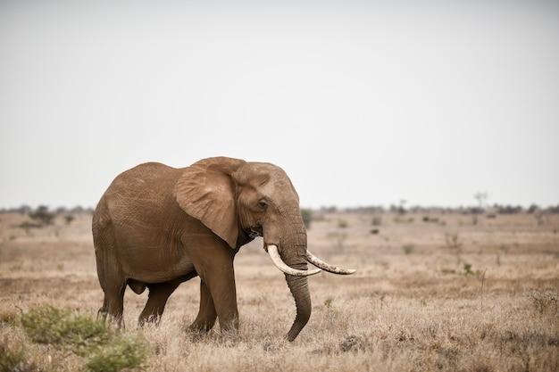 サバンナフィールドでアフリカ象の美しいショット 無料写真