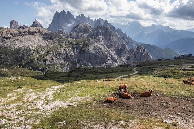 Красивый снимок коричневых коров в долине в природном парке три вершины в тоблахе, италия Бесплатные Фотографии