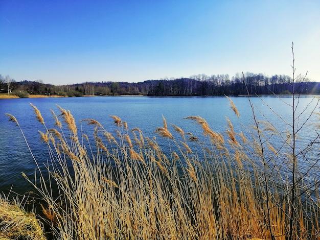 Красивый; выстрел из камыша обыкновенного на берегу озера в еленя-гура, польша. Бесплатные Фотографии