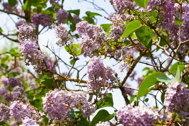 青い空を背景にライラックの花の美しいショット 無料写真