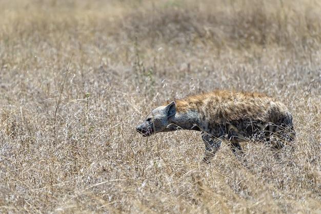 芝生の平原で発見されたアフリカのハイエナの美しいショット 無料写真