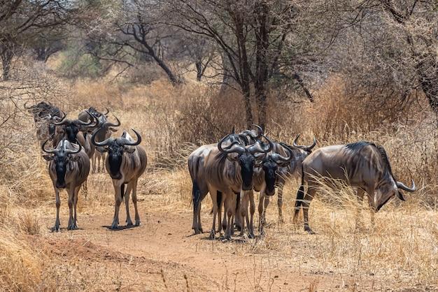 芝生の平原でアフリカのヌーのグループの美しいショット 無料写真