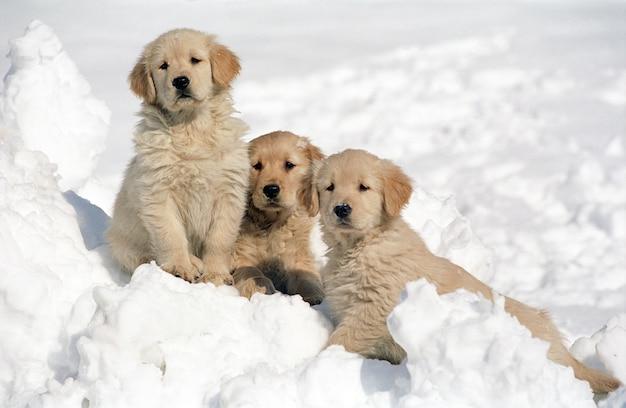 ぼやけた背景で雪の上で休んでいる3匹のゴールデンレトリバーの子犬の美しいショット 無料写真