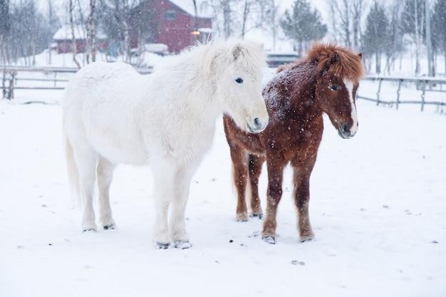 スウェーデンの北でお互いの近くに立っている白と茶色のポニーの美しいショット 無料写真