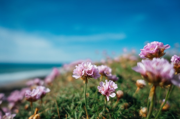 Beautiful shot of pink flowers by the sea on a sunny day in britain Free Photo